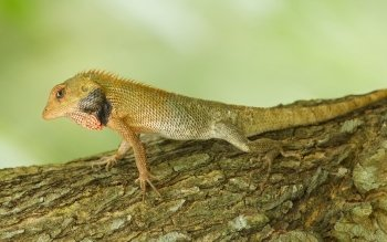 Animal - Lizard Wallpapers and Backgrounds ID : 498516