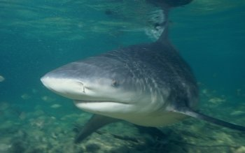 Animalia - Bull Shark Wallpapers and Backgrounds ID : 498891