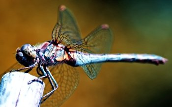 Animal - Dragonfly Wallpapers and Backgrounds ID : 499073