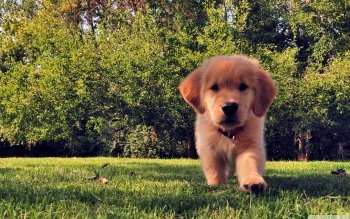 Animal - Golden Retriever  Wallpapers and Backgrounds ID : 499515