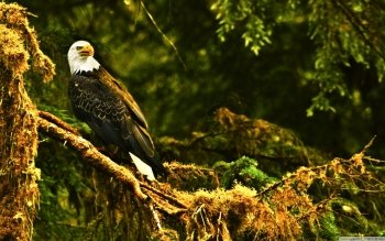 Animal - Eagle Wallpapers and Backgrounds ID : 500104