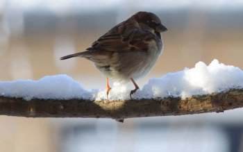 Animal - Sparrow Wallpapers and Backgrounds ID : 500532