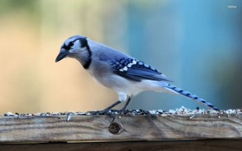 Animal - Blue Jay Wallpapers and Backgrounds ID : 500595
