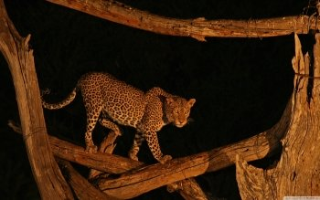 Animalia - Leopard Wallpapers and Backgrounds ID : 502375