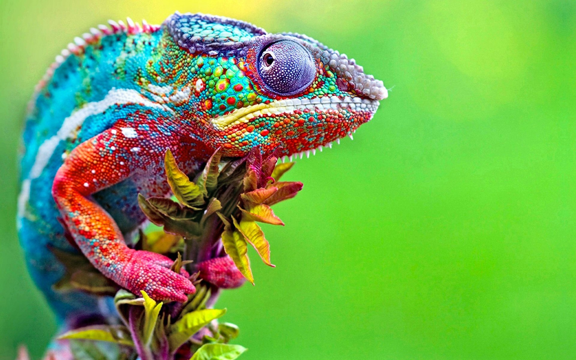 Animal - Chameleon  Green Lizard Animal Colorful Wallpaper