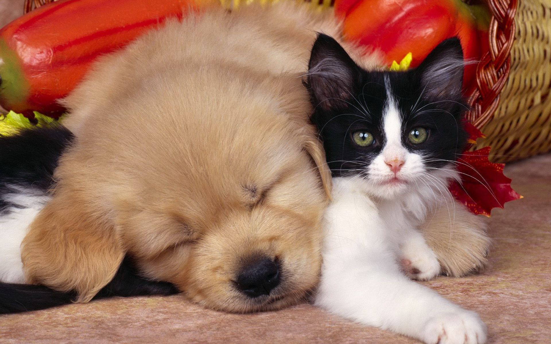 dog and cat full hd wallpaper and background image | 1920x1200 | id