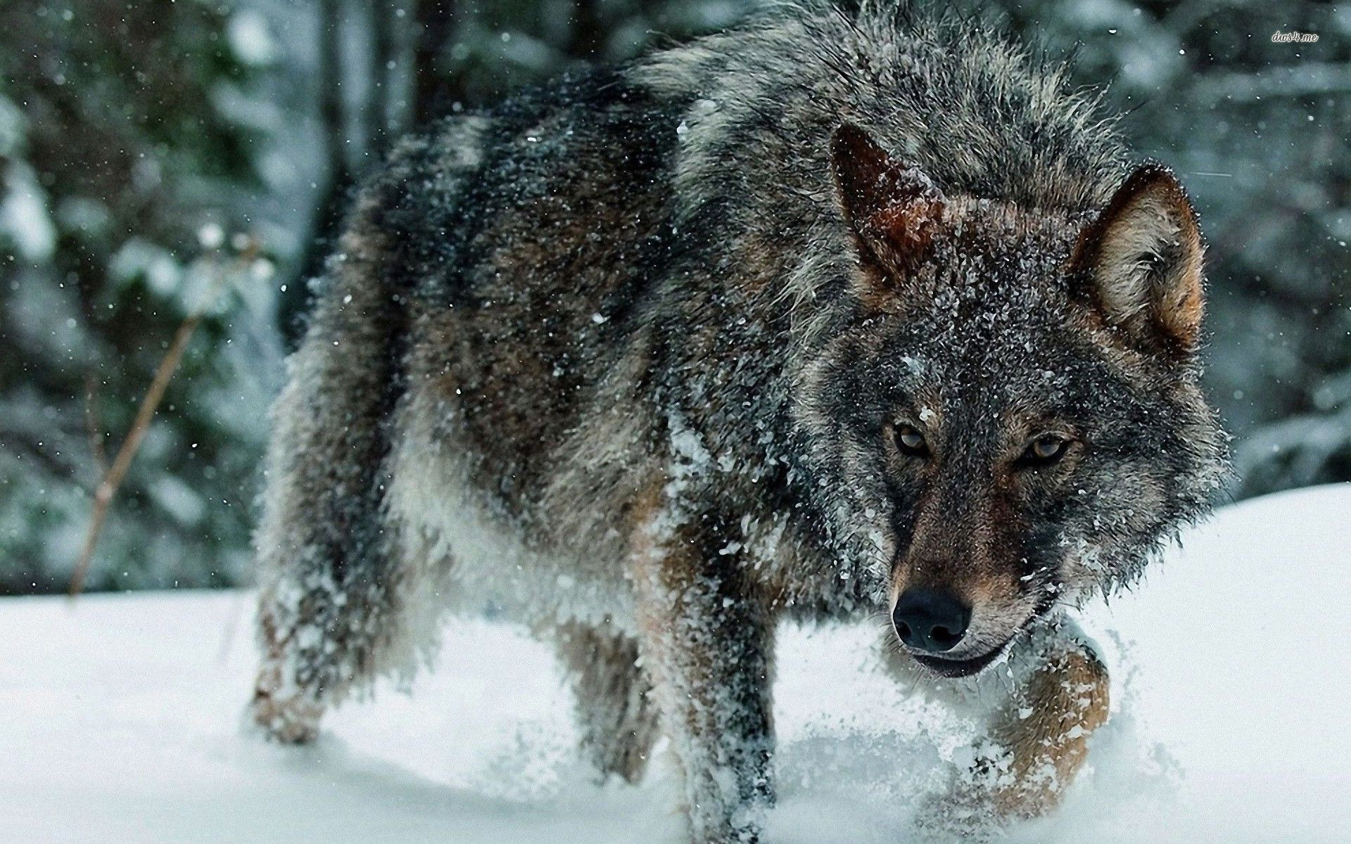 Wolf HD Wallpaper  Background Image  1920x1200  ID:505491  Wallpaper Abyss