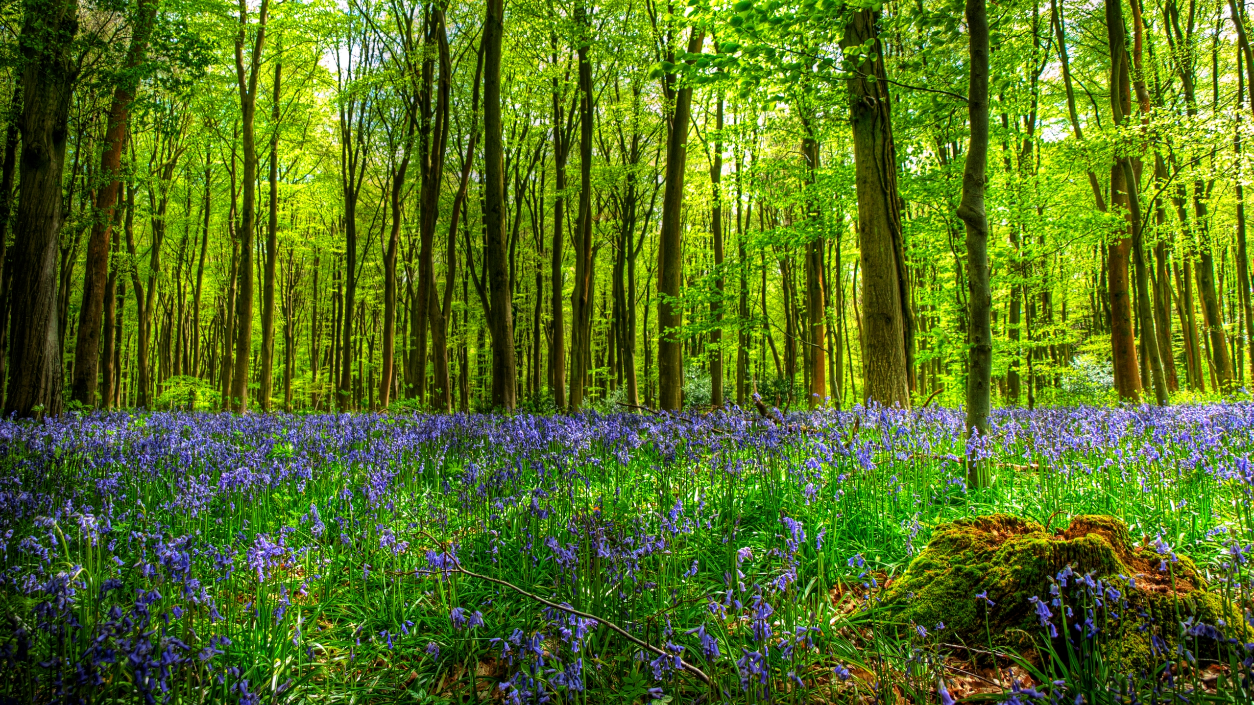 Bluebells In Forest Full Hd Wallpaper And Background Image