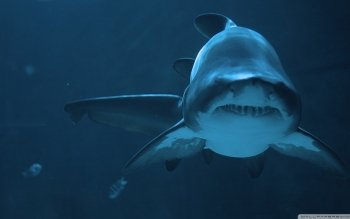 Animal - Shark Wallpapers and Backgrounds ID : 505474