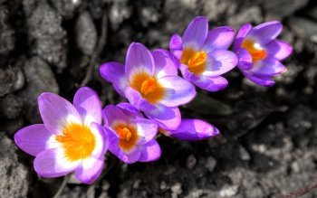 Earth - Crocus Wallpapers and Backgrounds ID : 506895