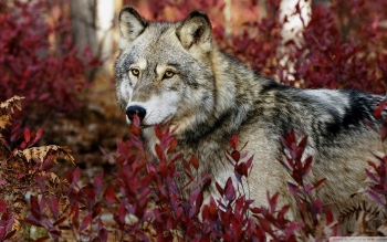 Animal - Wolf Wallpapers and Backgrounds ID : 507263