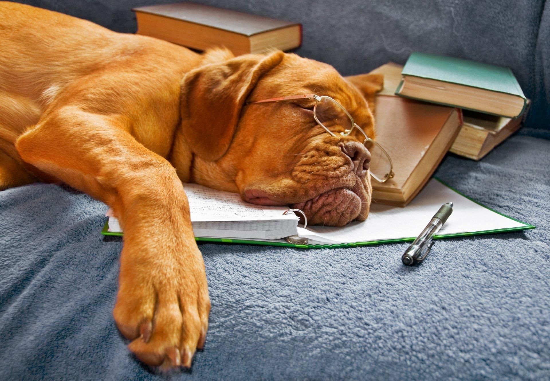 Animal - Dogue de Bordeaux  Dog Glasses Book Mastiff Wallpaper
