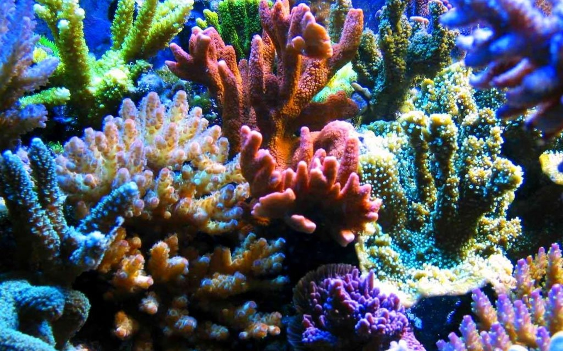 Coral Full HD Wallpaper And Background Image