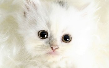 Animal - Cat Wallpapers and Backgrounds ID : 511415