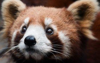 Animaux - Panda Roux Fonds d'écran et Arrière-plans ID : 514049