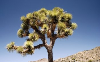 Earth - Joshua Tree National Park Wallpapers and Backgrounds ID : 515777