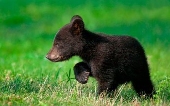 Animal - Bear Wallpapers and Backgrounds ID : 516110