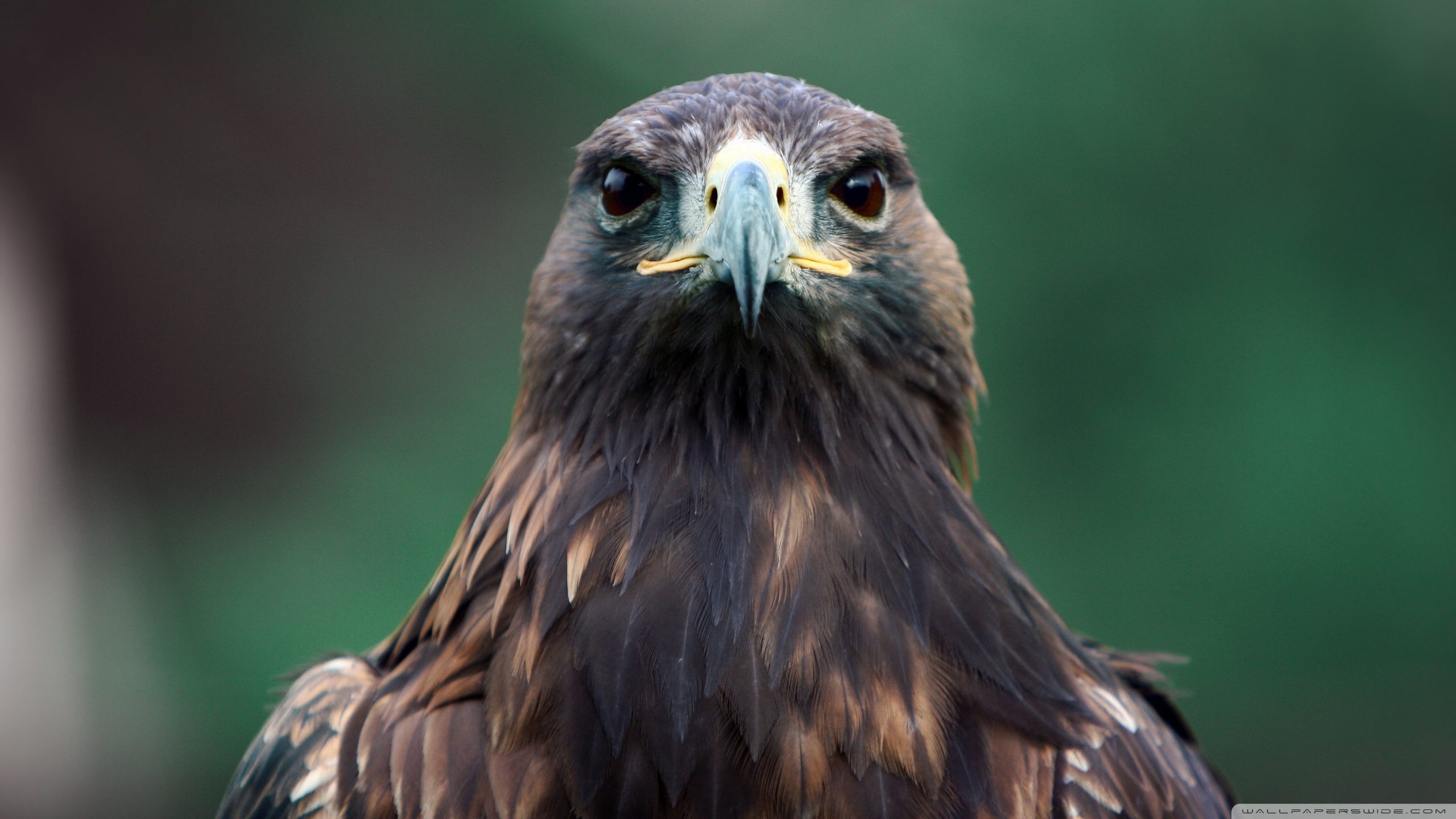 Hawk full hd wallpaper and background image 2560x1440 - Hawk iphone wallpaper ...
