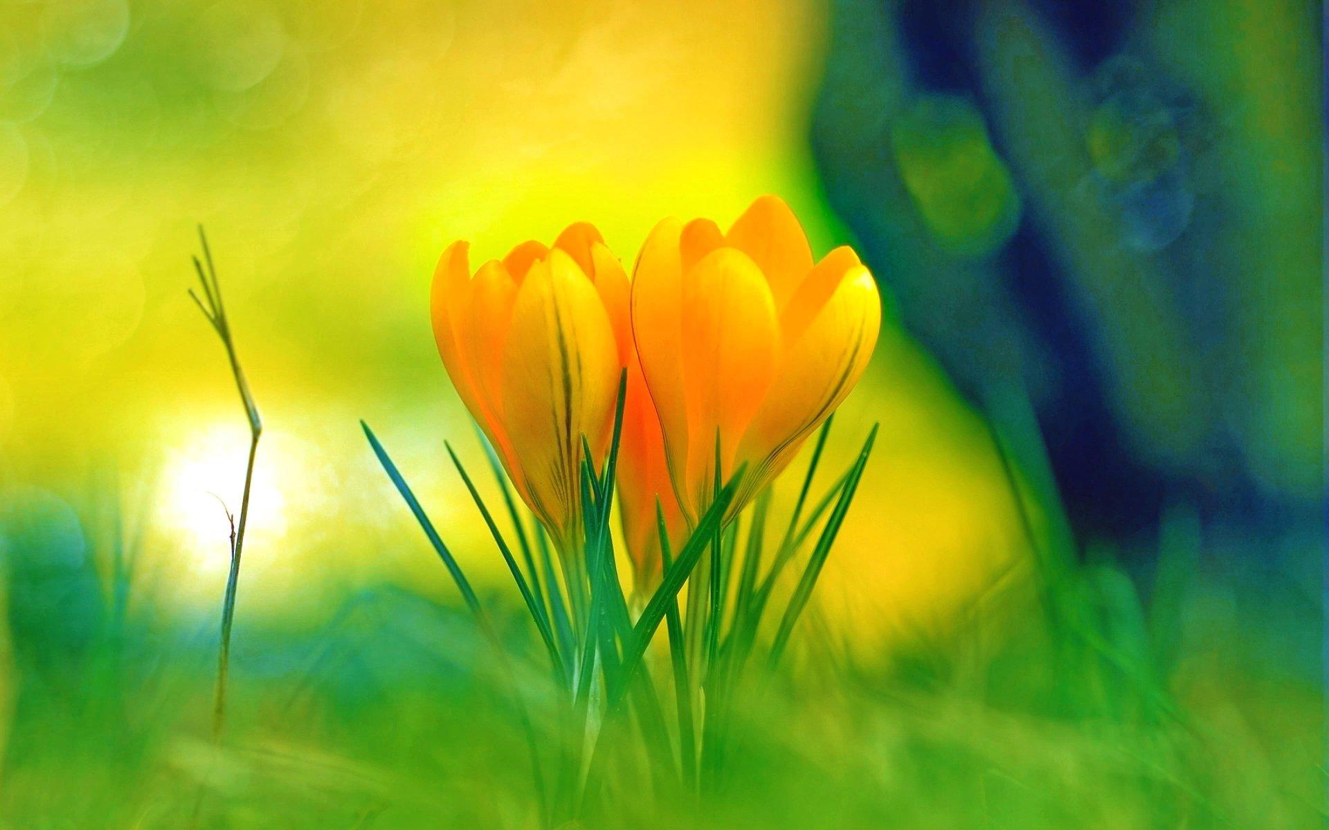 Earth - Crocus  Flower Yellow Flower Spring Wallpaper