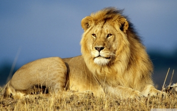 Dierenrijk - Lion Wallpapers and Backgrounds ID : 519337
