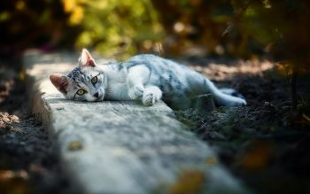 Animal - Cat Wallpapers and Backgrounds ID : 521208