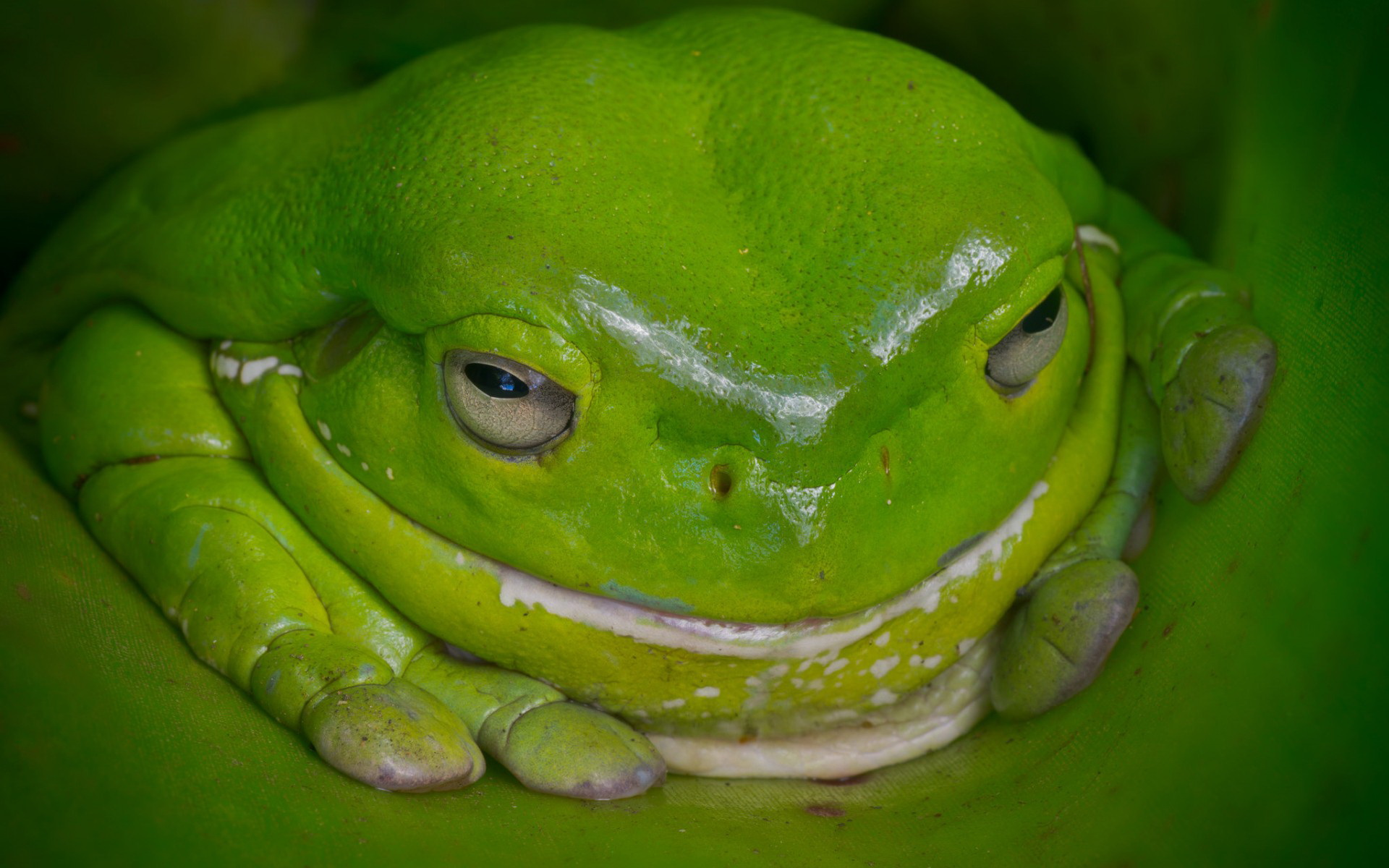 Beautiful Frog Wallpaper Download For Free Goats Animal: Frog Full HD Wallpaper And Background Image