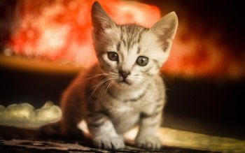 Animal - Cat Wallpapers and Backgrounds ID : 523603