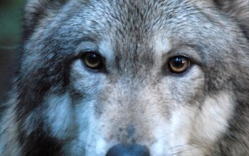 Animal - Wolf Wallpapers and Backgrounds ID : 523639