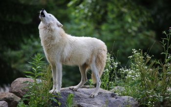 Animal - Wolf Wallpapers and Backgrounds ID : 523690