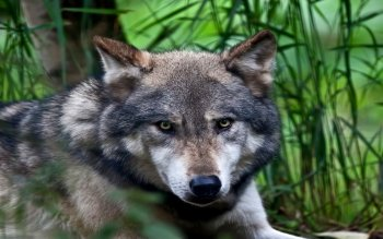Animal - Wolf Wallpapers and Backgrounds ID : 523696
