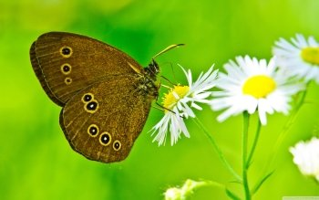 Animal - Butterfly Wallpapers and Backgrounds ID : 524042