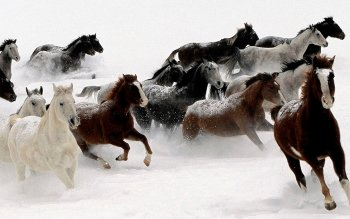 Animal - Horse Wallpapers and Backgrounds ID : 524064