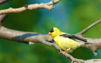 Animal - Goldfinch Wallpapers and Backgrounds ID : 524303