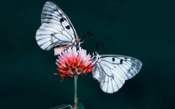 Animal - Butterfly Wallpapers and Backgrounds ID : 524928