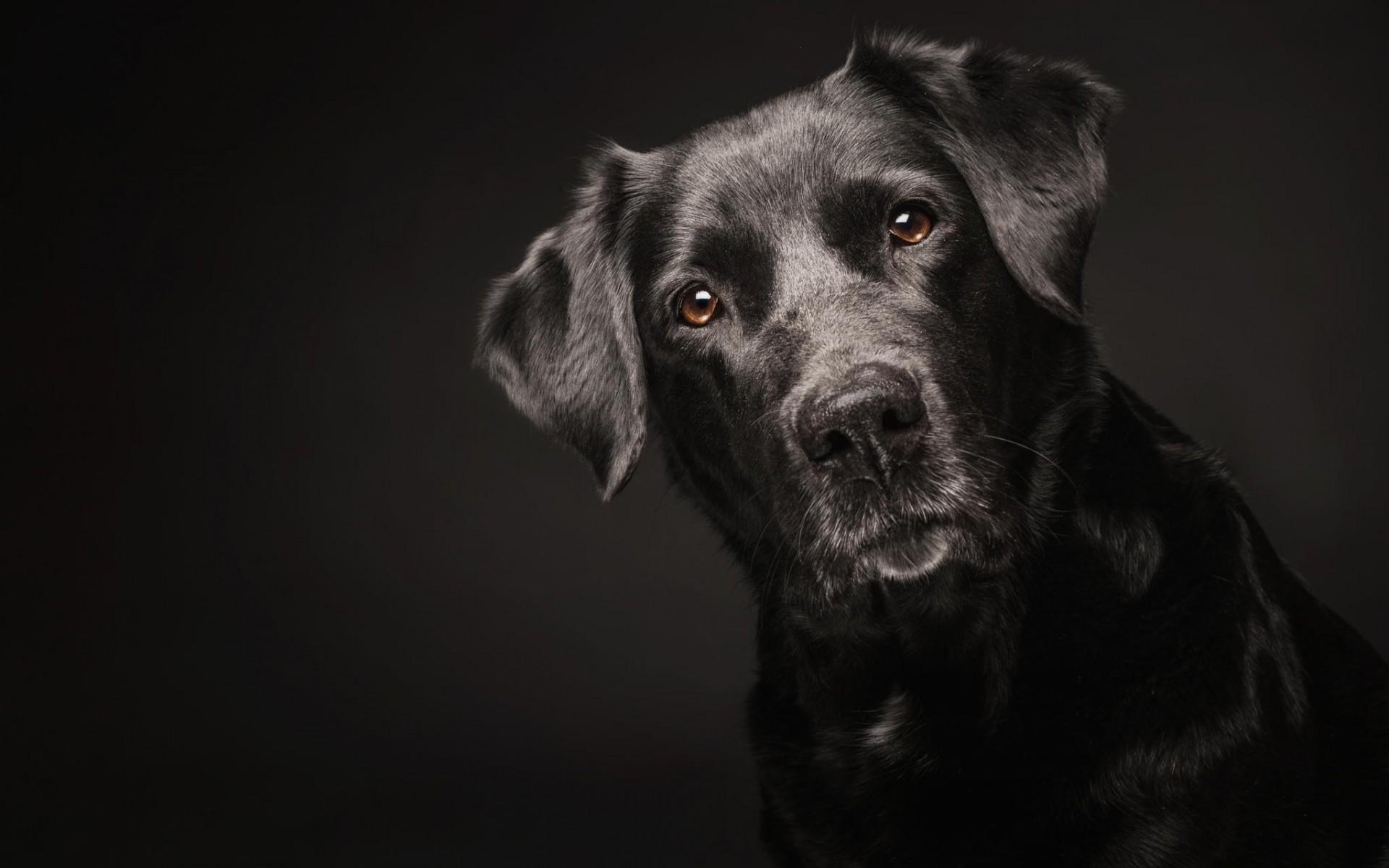 Dark Boxer Dog Puppy Png