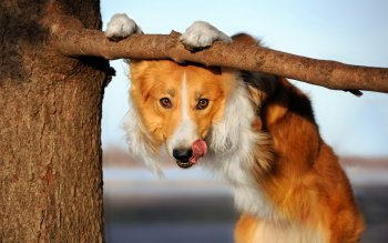 Animal - Dog Wallpapers and Backgrounds ID : 529388
