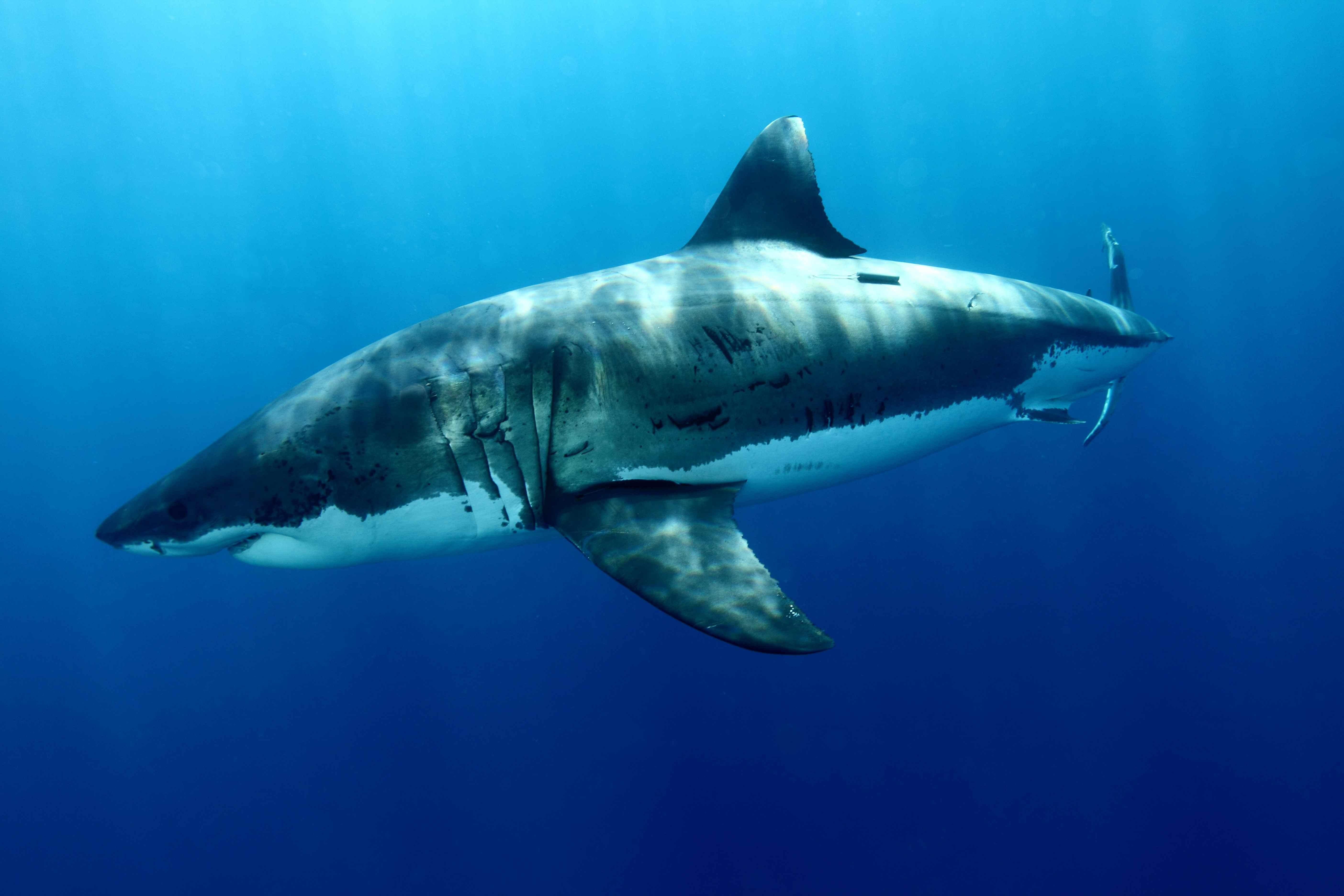 Great White Shark 5k Retina Ultra Fondo De Pantalla Hd