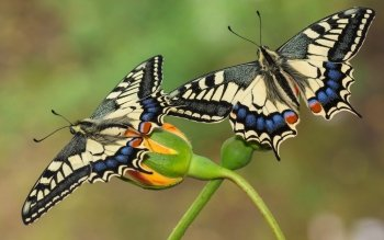 Animal - Butterfly Wallpapers and Backgrounds ID : 531404