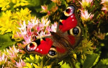 Animal - Butterfly Wallpapers and Backgrounds ID : 531409