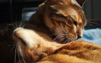 Animal - Cat Wallpapers and Backgrounds ID : 532994