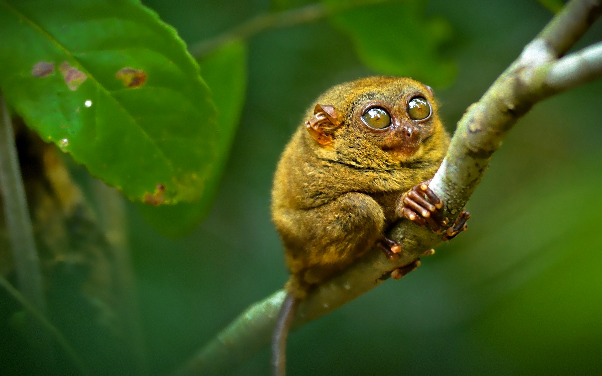9 tarsier hd wallpapers background images wallpaper abyss - Animal 1920x1080 ...