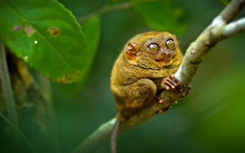 Животные - Tarsier Wallpapers and Backgrounds ID : 533739