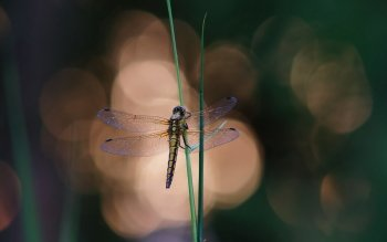 Animal - Dragonfly Wallpapers and Backgrounds ID : 535209
