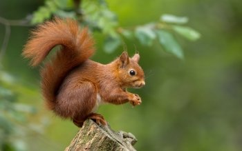 Animal - Squirrel Wallpapers and Backgrounds ID : 535222