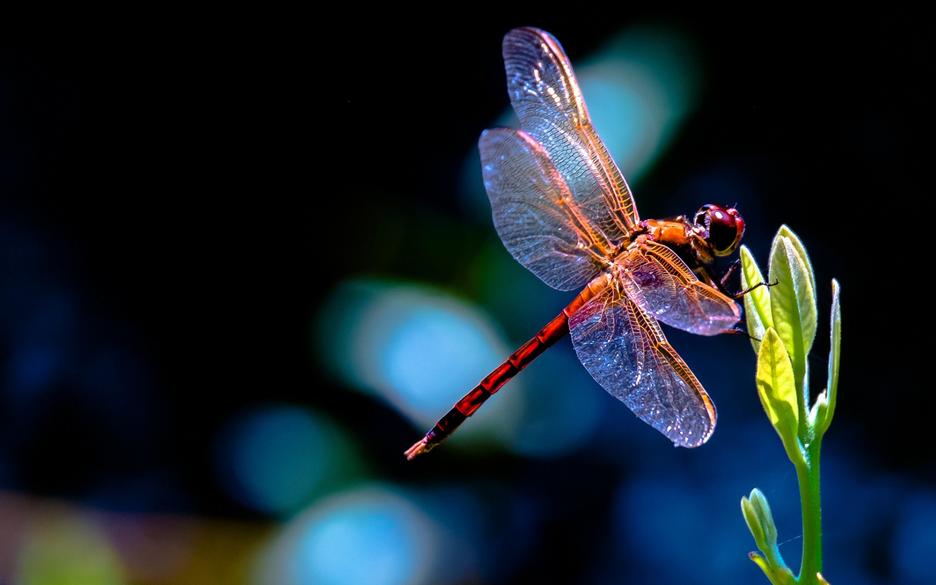 Animal  Dragonfly Wallpaper