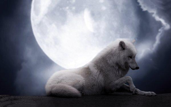 Animal Wolf White Wolf Night Moon HD Wallpaper   Background Image