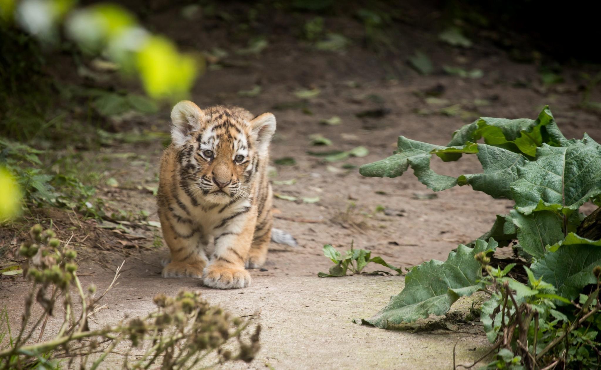 Tiger HD Wallpaper | Background Image | 2048x1260 | ID ...