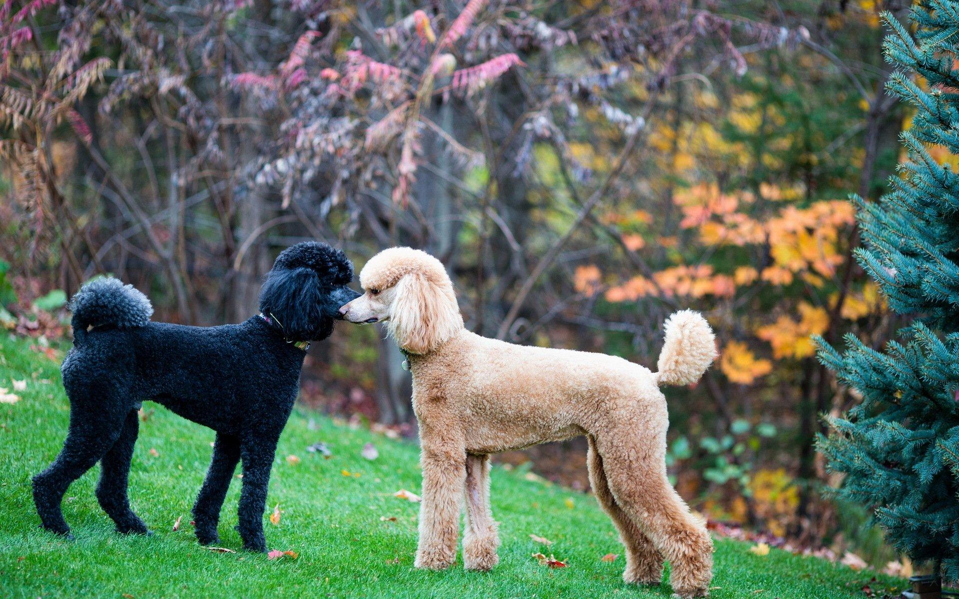 Animal - Poodle  Standard Poodle Dog Animal Wallpaper