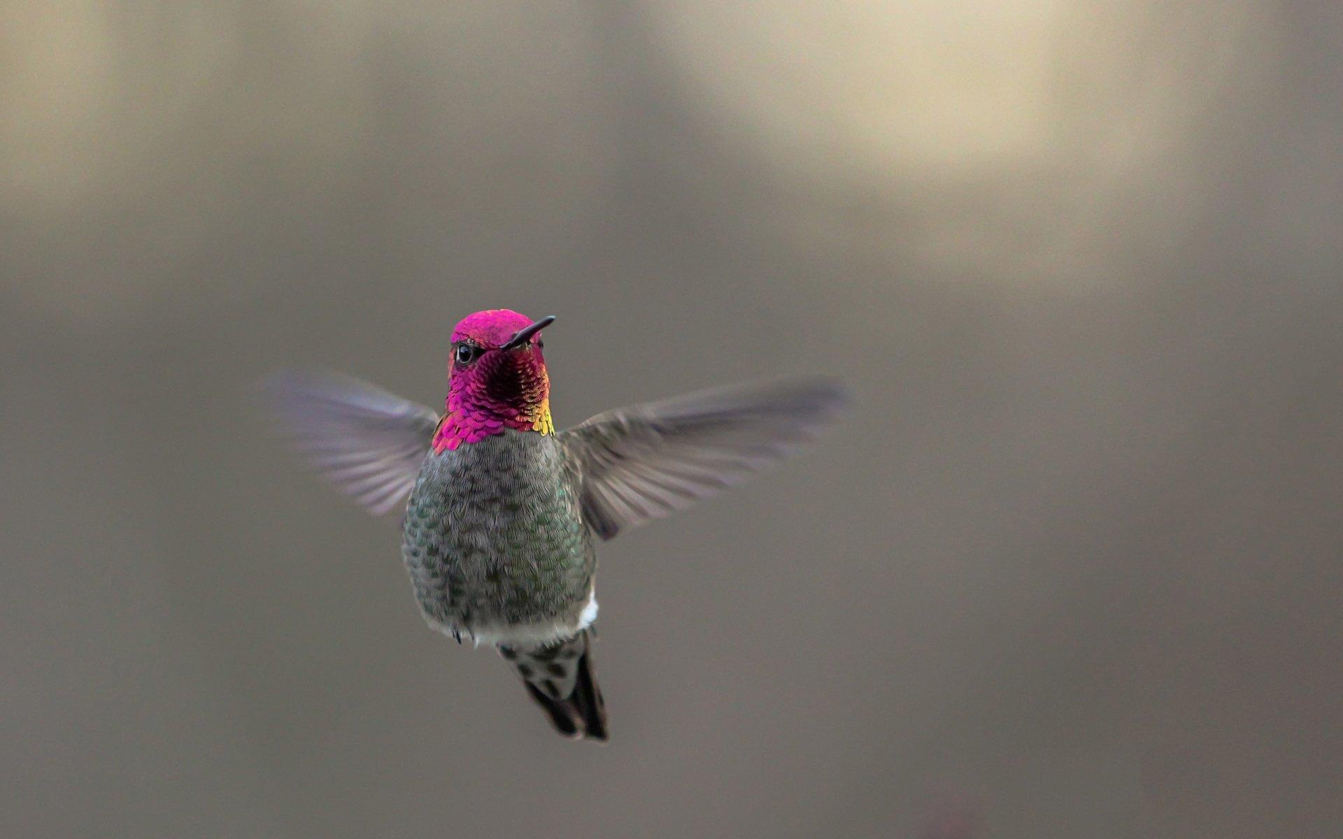 Animal - Hummingbird  Wallpaper