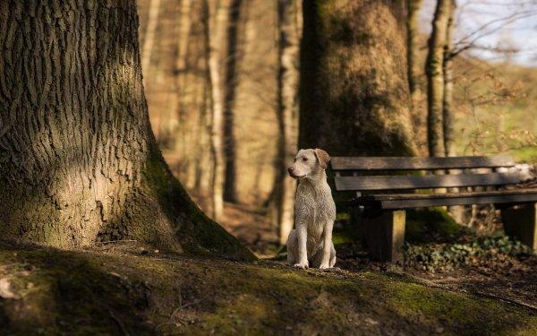 Animal Labrador Retriever Dogs Dog Bench HD Wallpaper | Background Image